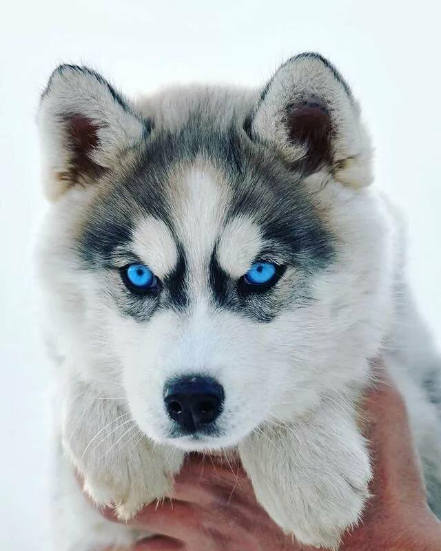 Картинка хаски с голубыми глазами, днем рождения девочка