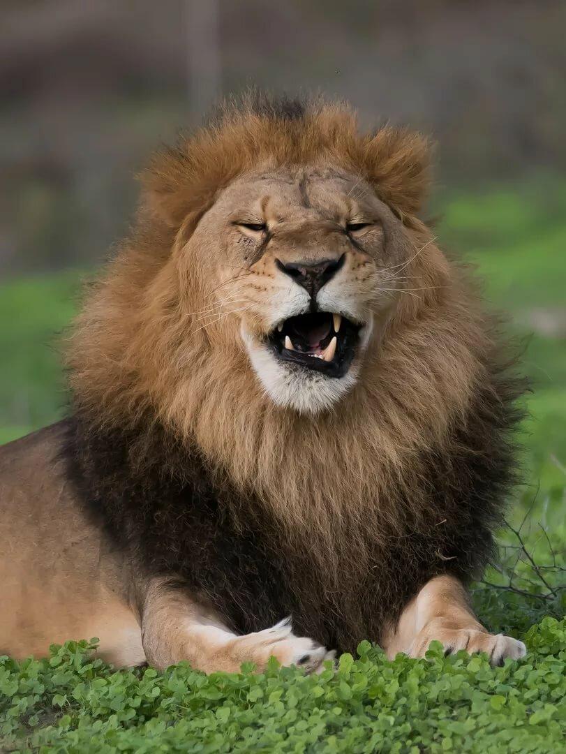 Веселые картинки льва