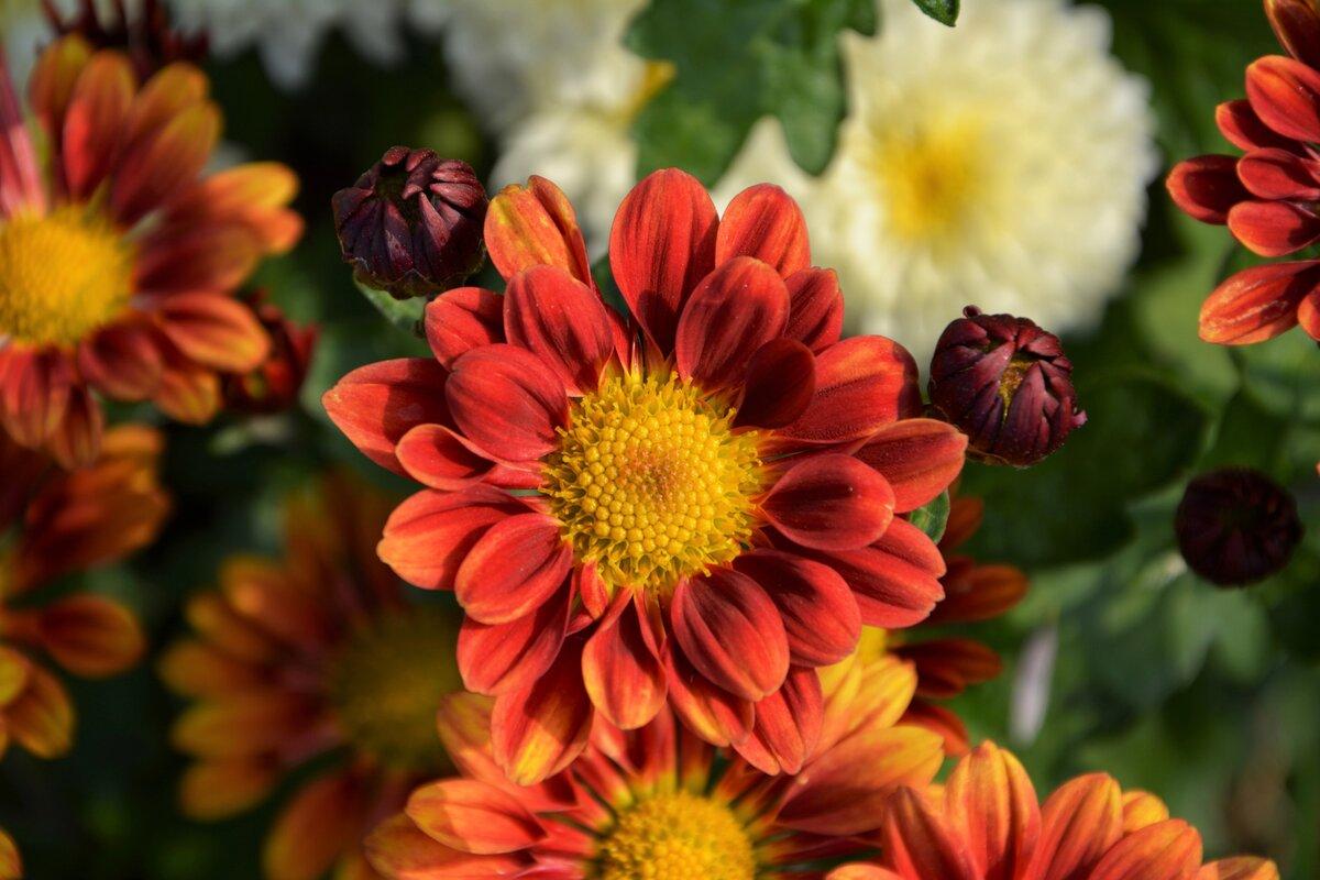 ноябре красивые осенние цветы картинки вертикальные садоводов даже считают