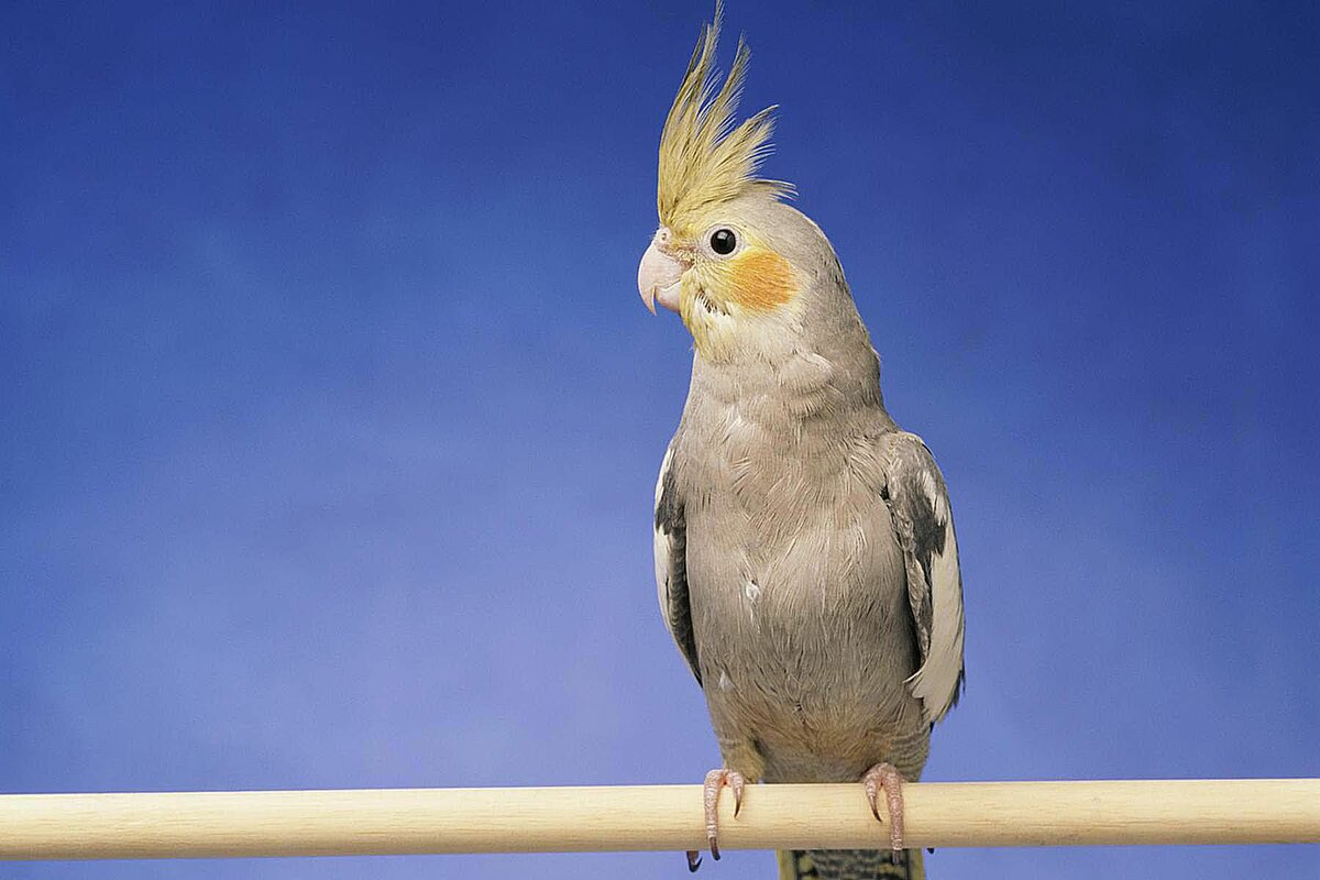 птицы картинки корела чтобы было