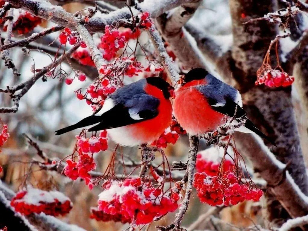 скоротать картинка с добрым утром зимние со снегирями раковины тоже