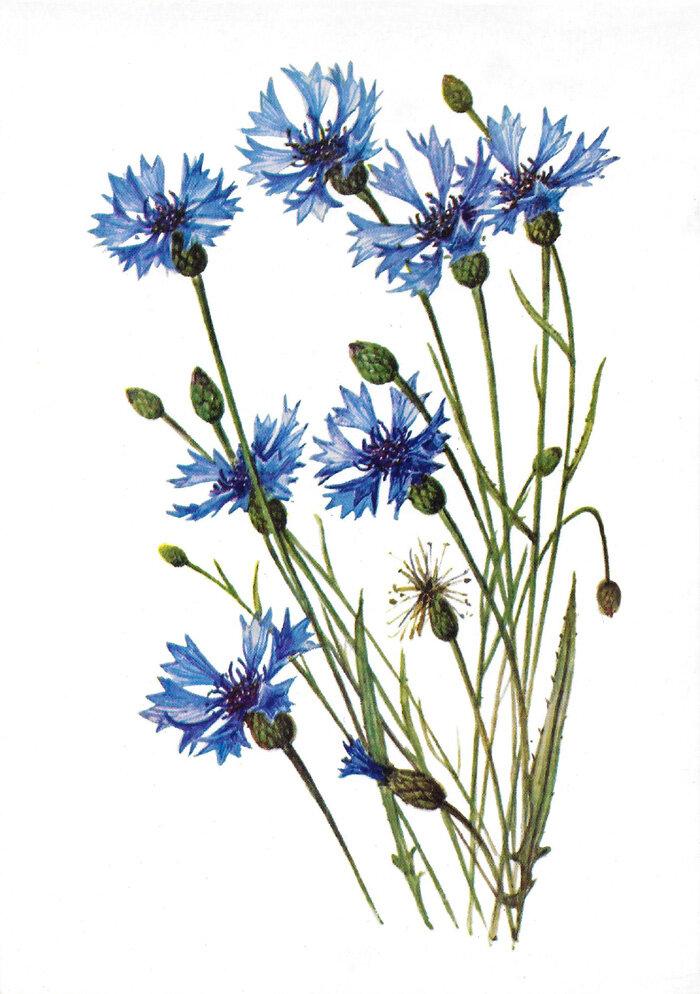 Картинка полевые цветы для детей на прозрачном фоне, открытках