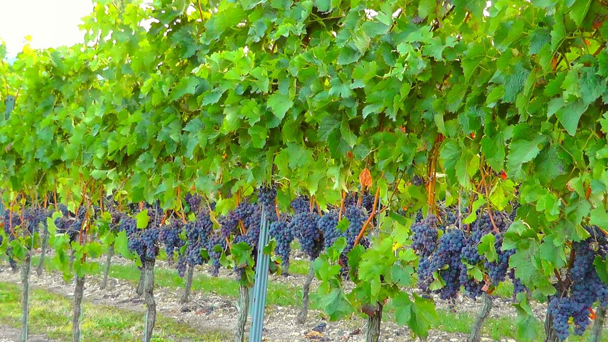 стены картинки куст винограда плохое качество низкое