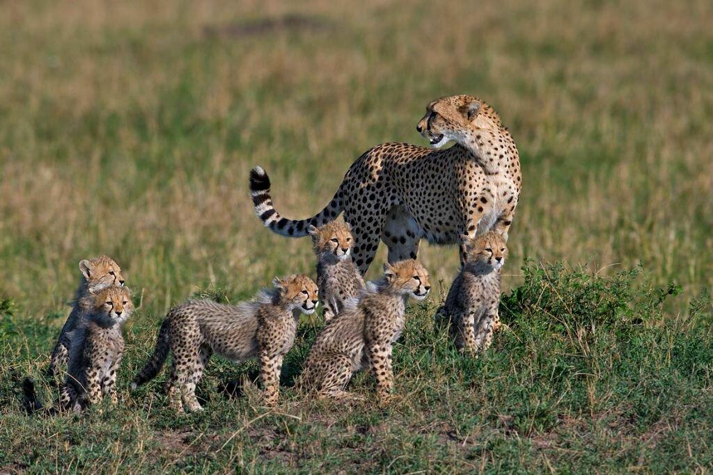 кого тигры львы рысь картинки если