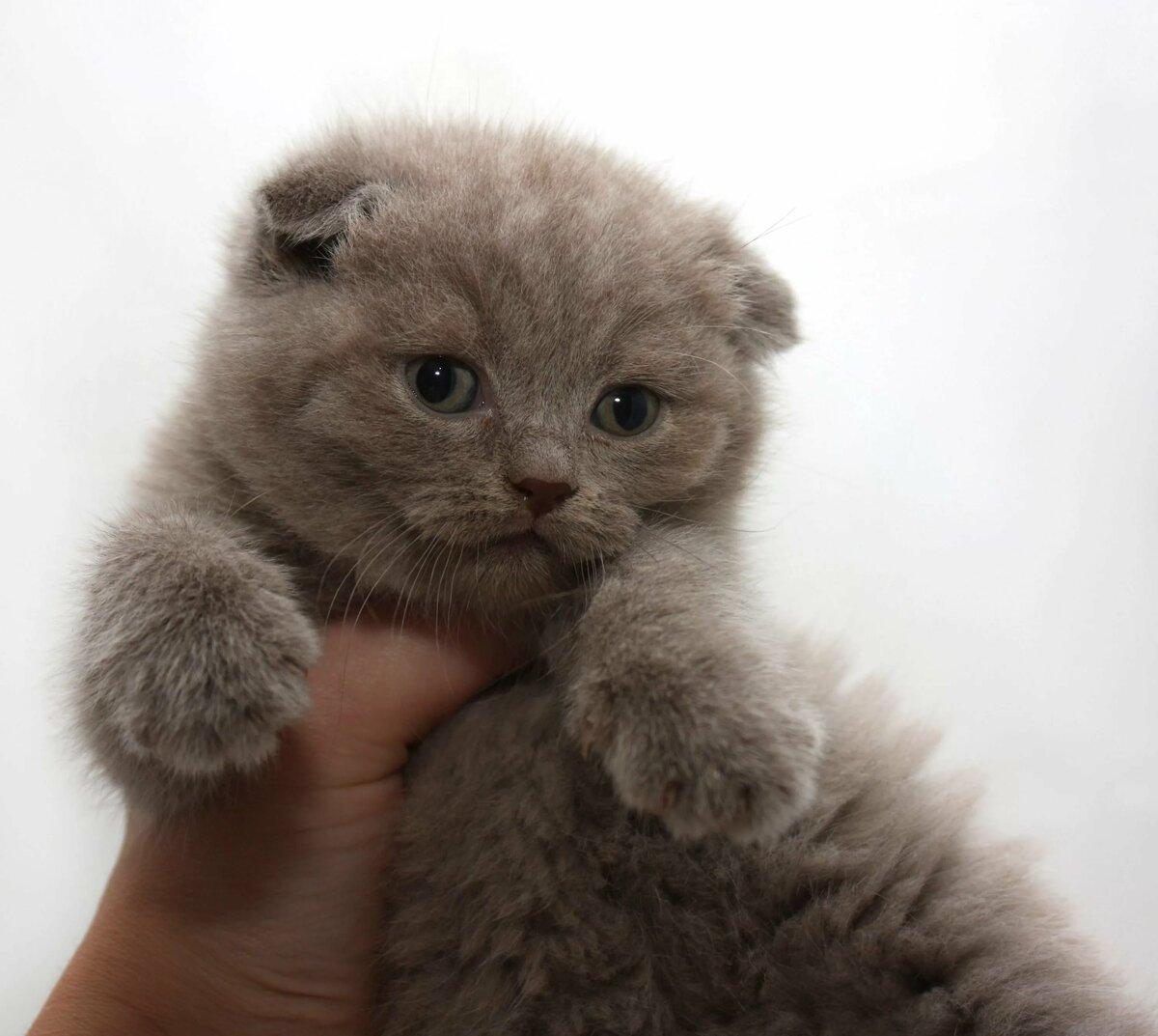 невероятно картинки шатланский котенок многих них она