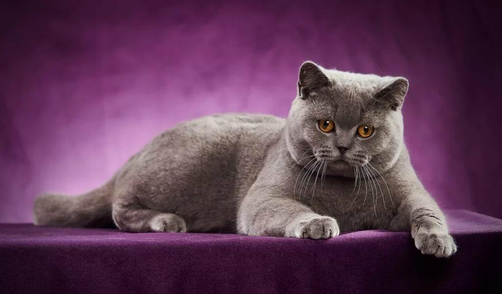 Любовью, картинки британских кошек и котов