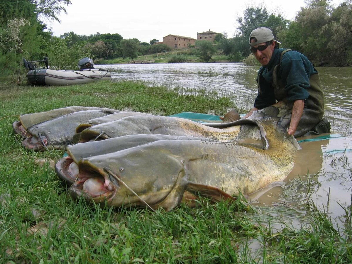 Ловля сома рыбалка видео