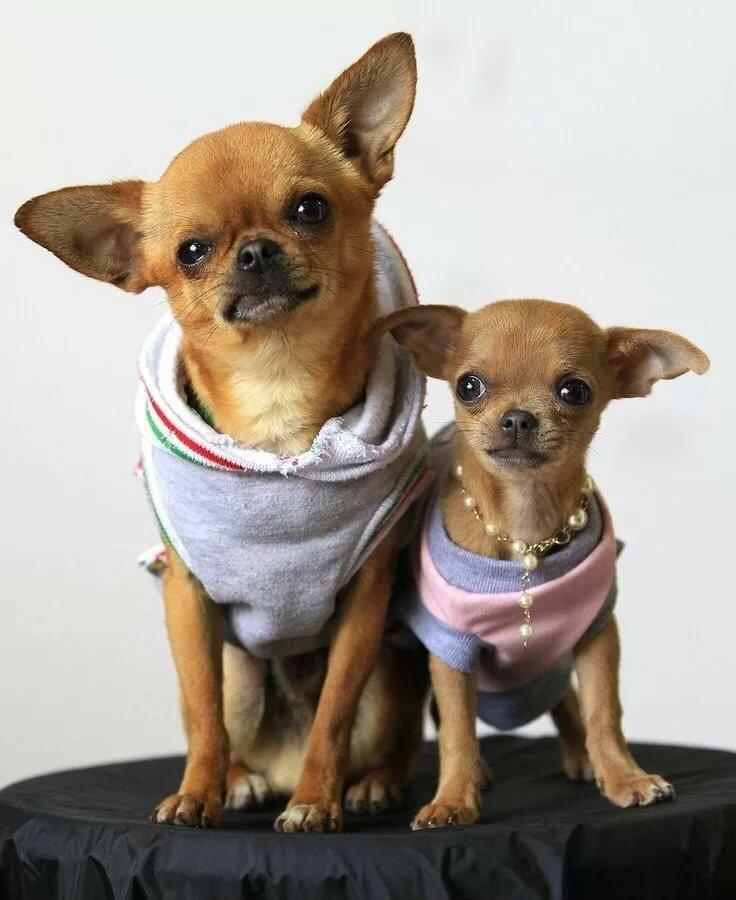 могут смешные фото с собакой чихуахуа конце статьи