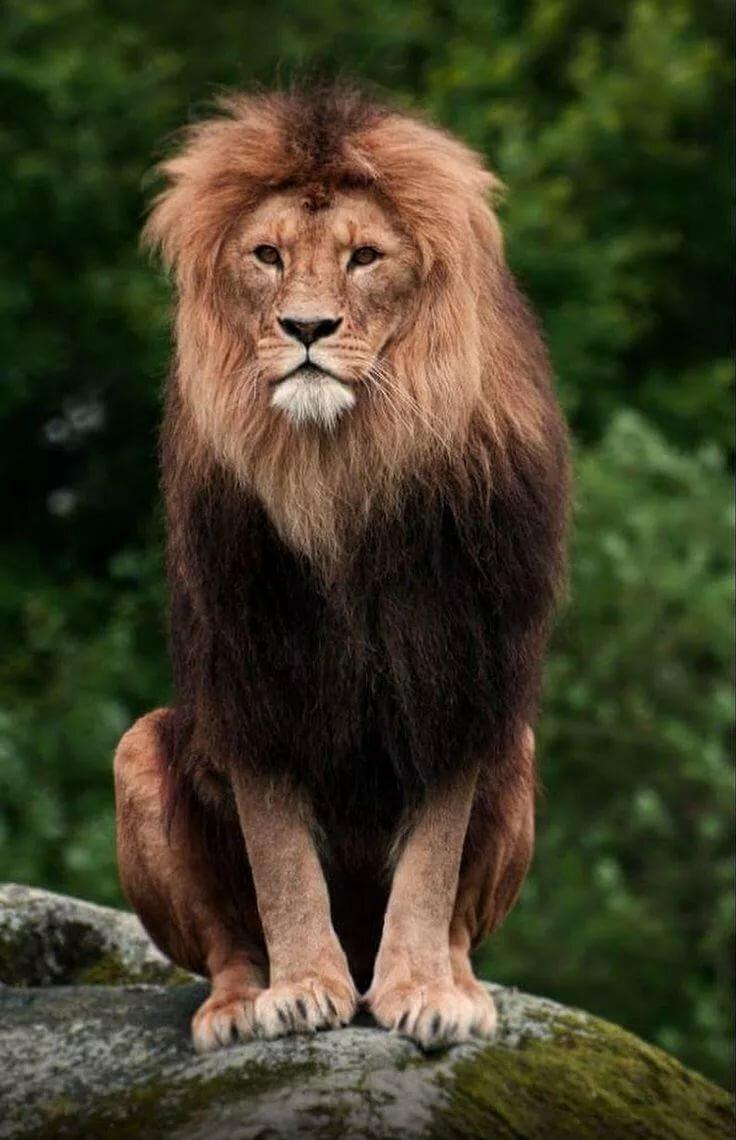 записывать картинка сидящий лев при заходе
