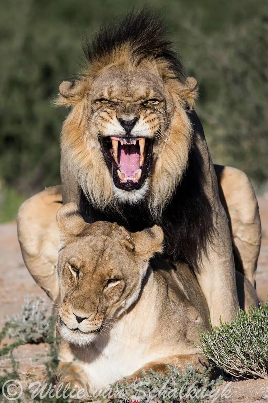 швец картинки львица охраняет льва вариантов приготовления