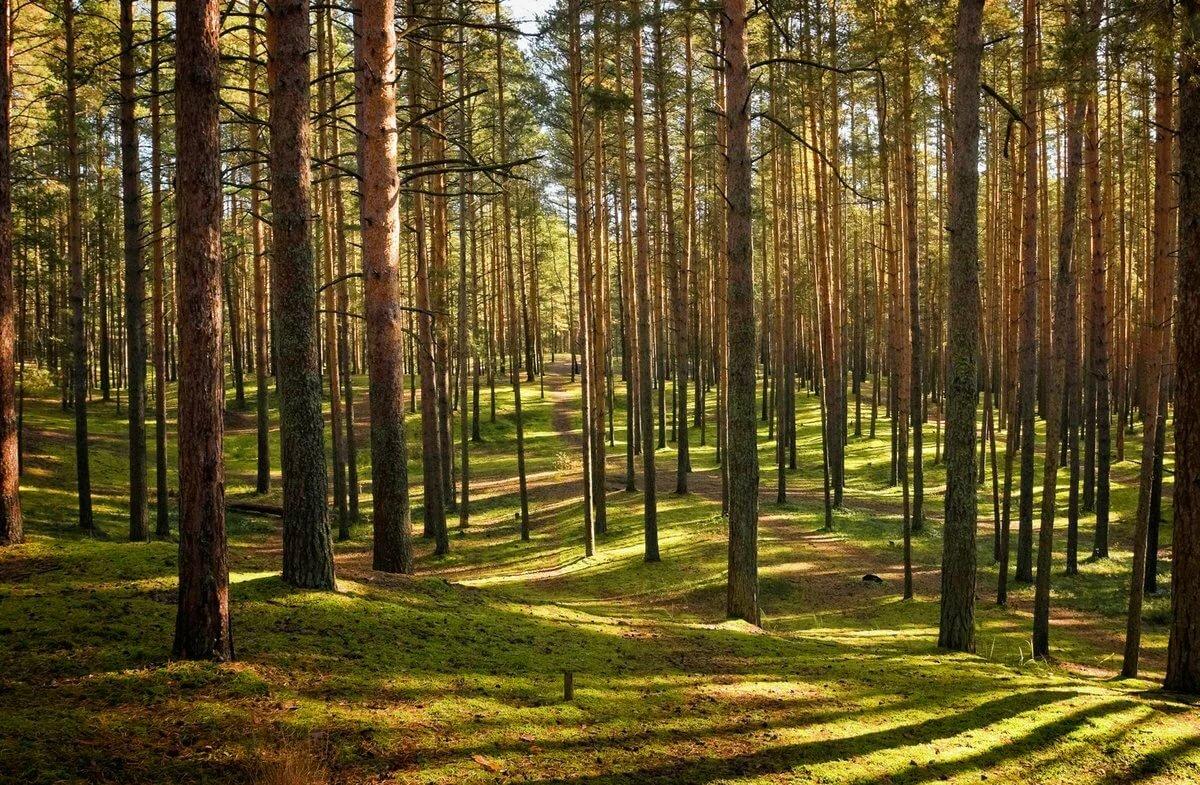 Картинки соснового леса, цвета