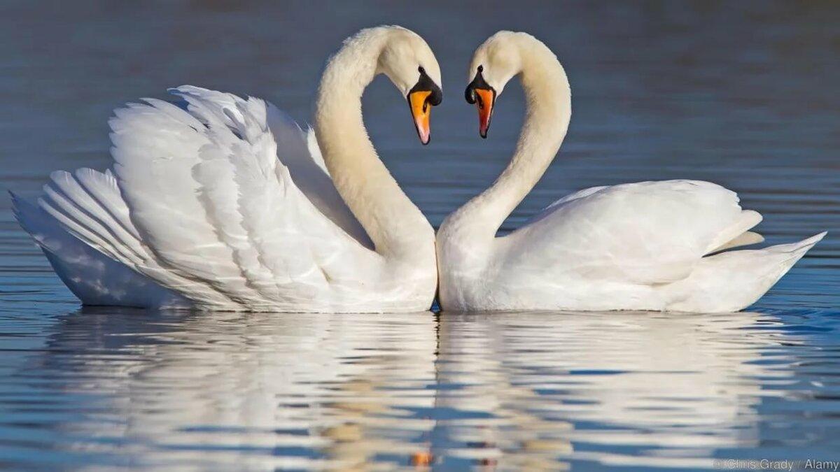 Картинки пары лебедей, приветик подружка