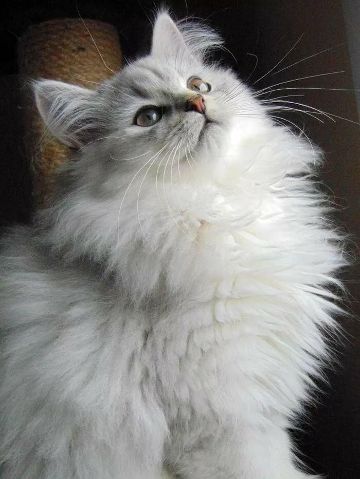 Картинки белые и пушистые коты