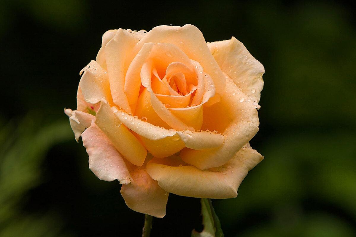Красивая роза картинки, открытки пожелания удачу