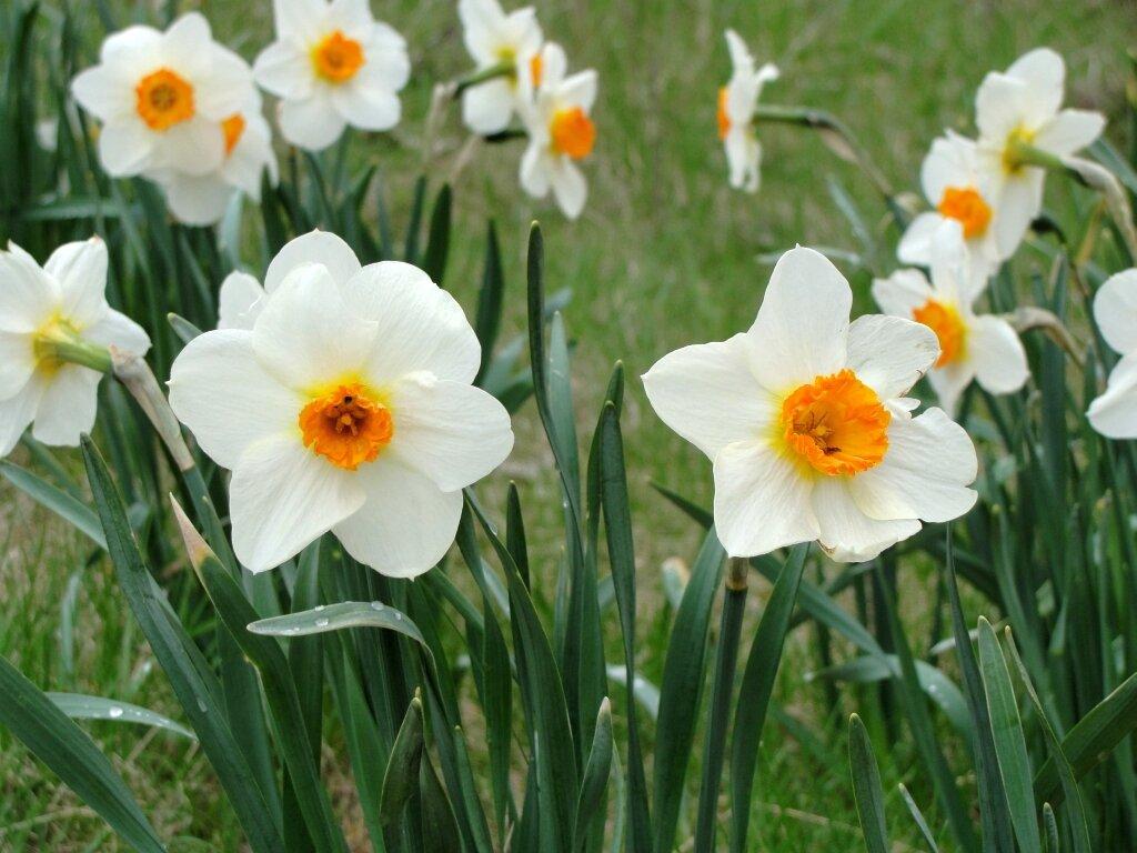 Цветы нарциссы картинки красивые, ревную хату спалю