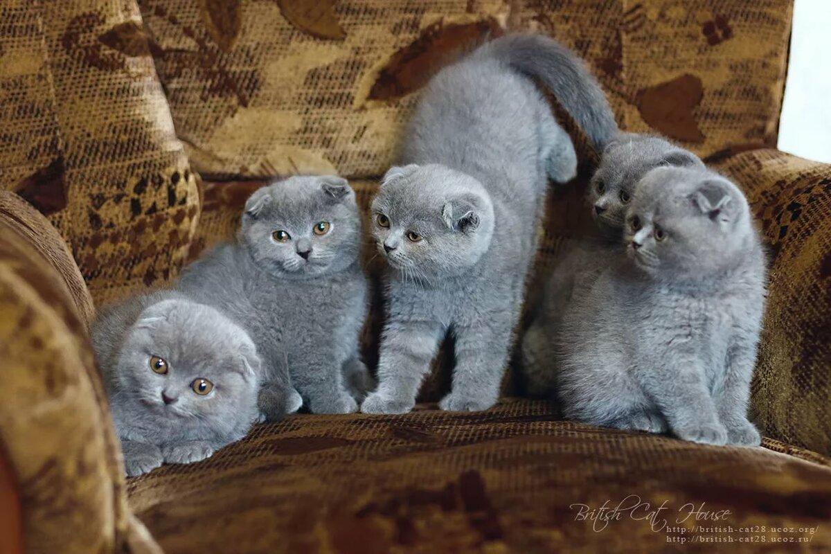 оптимальные, все о шотландских котятах в картинках бокс, купить