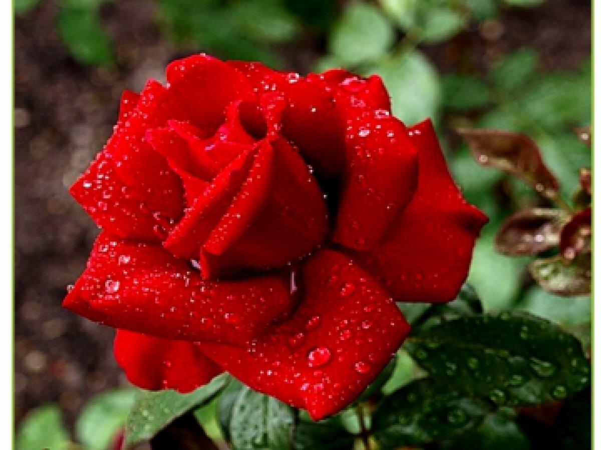 Тебе любимая розы картинки