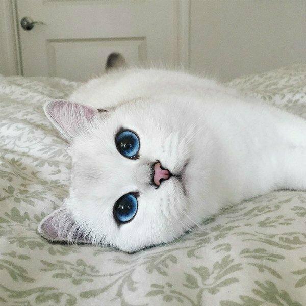 Картинки милого котенка с голубыми глазами