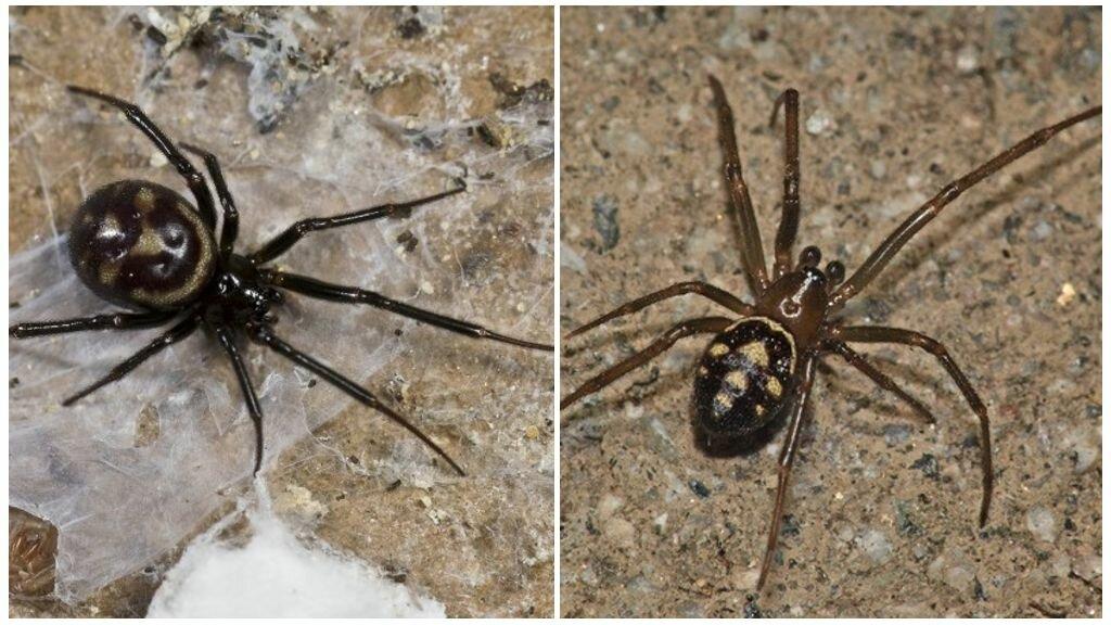 моему пауки рода стеатода фото всех видов всего