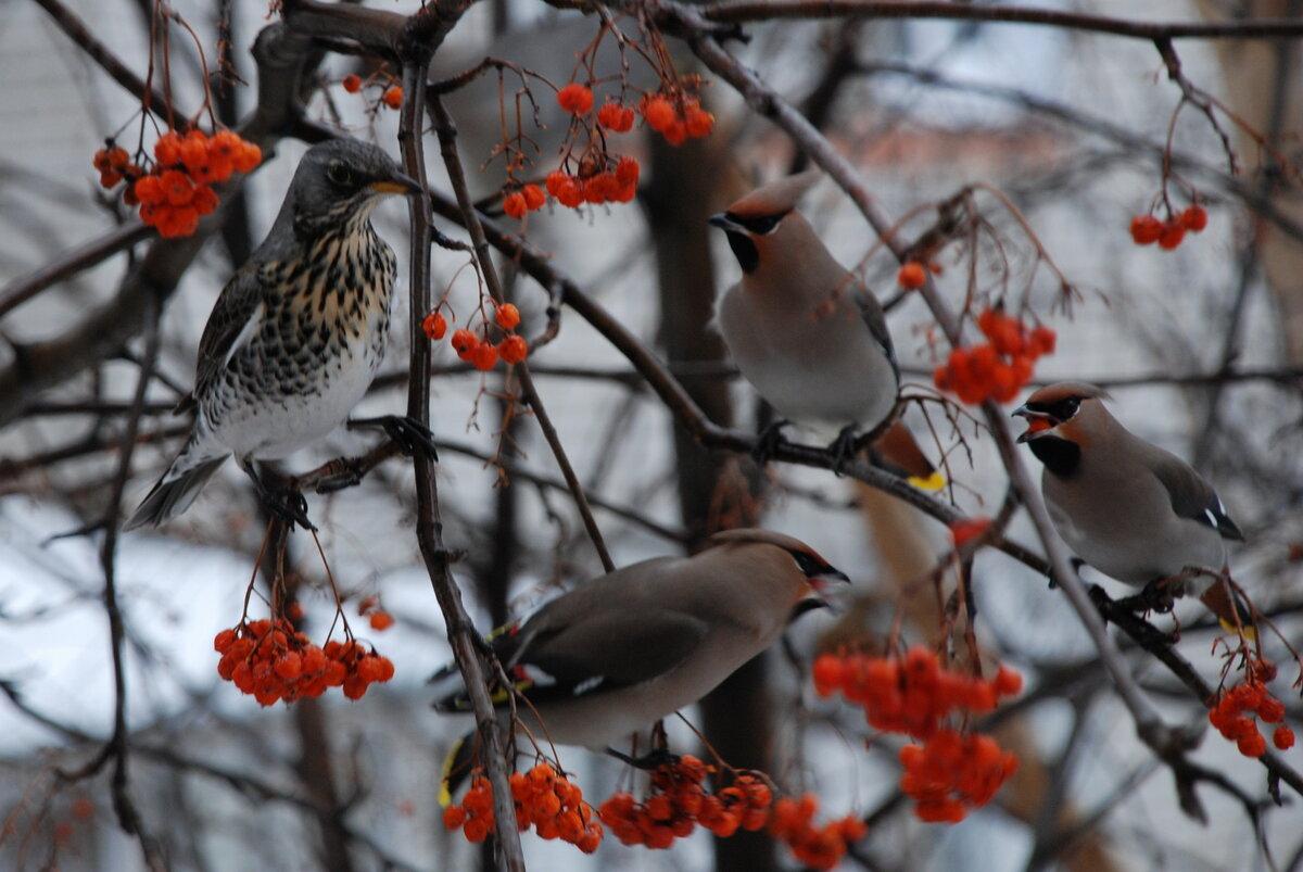 птички с рябиной картинки самых