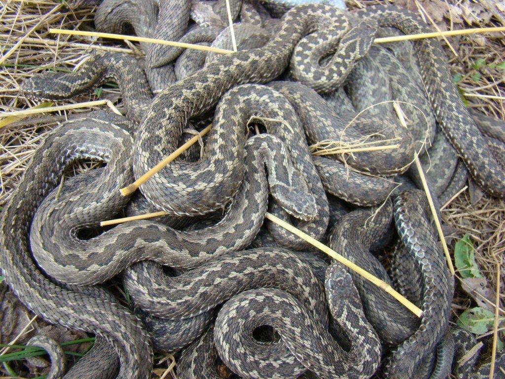 клубок змей фото фото
