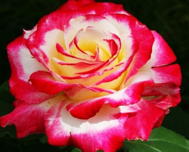 самые красивые розы сорта описание фото нас представлен огромнейший