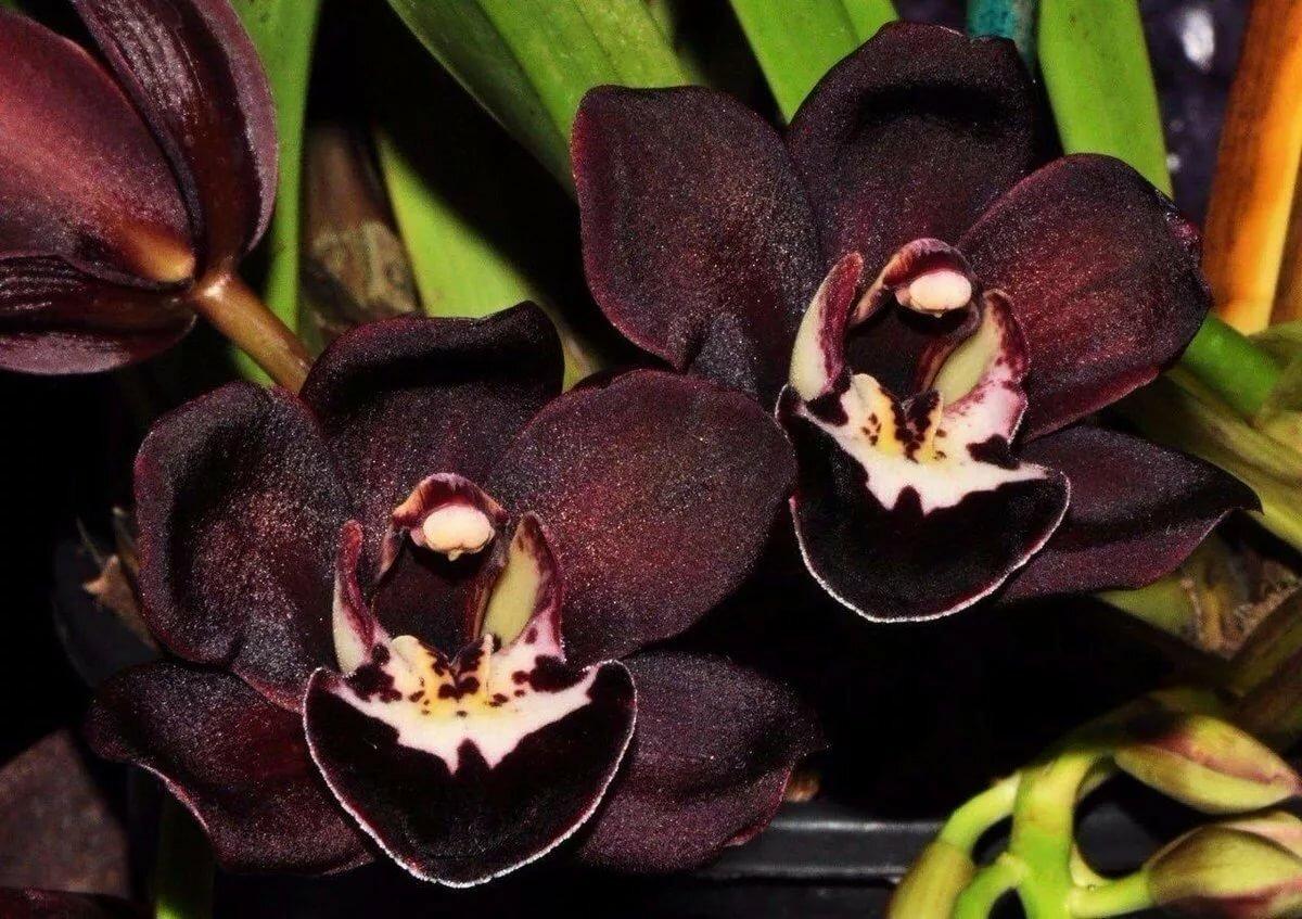 Цветы орхидеи черные купить в харькове