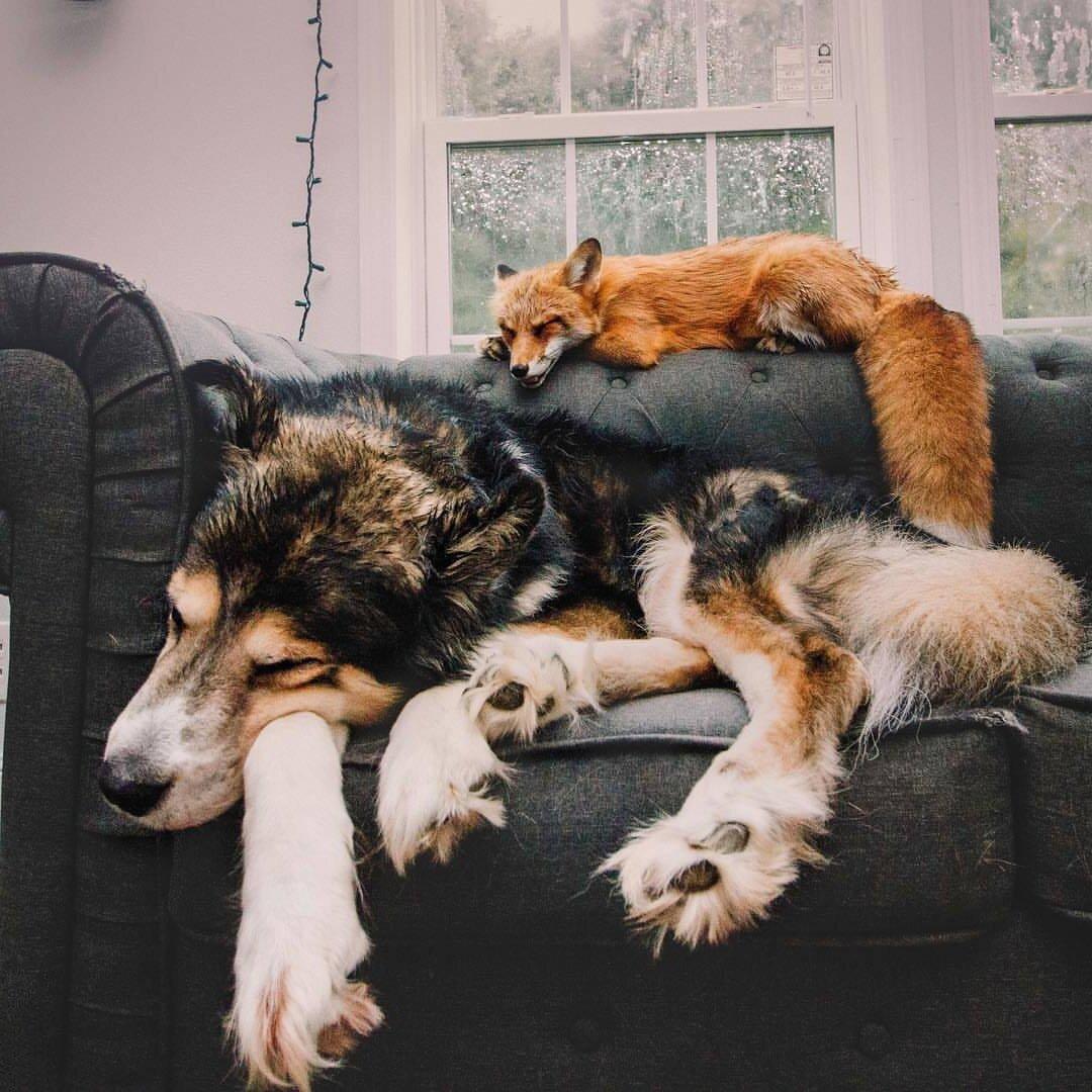 картинки лиса и пса желудочно-кишечный