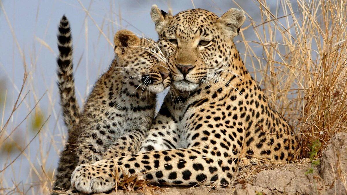 Картинки леопарда с малышами