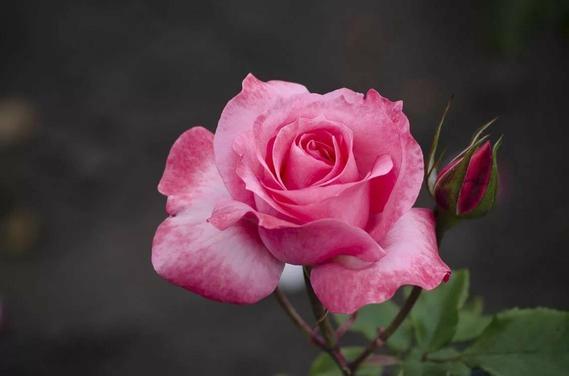 Розы цветущие картинки