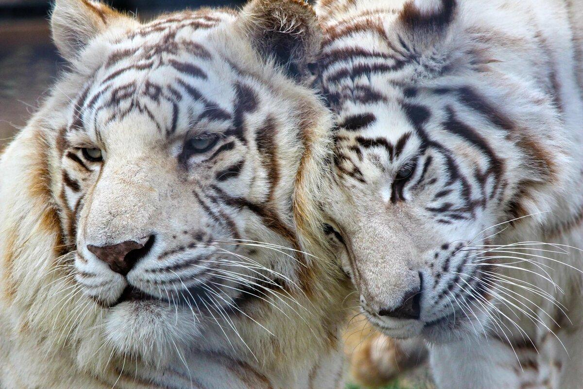 красивые картинки на стол тигры белые окончания
