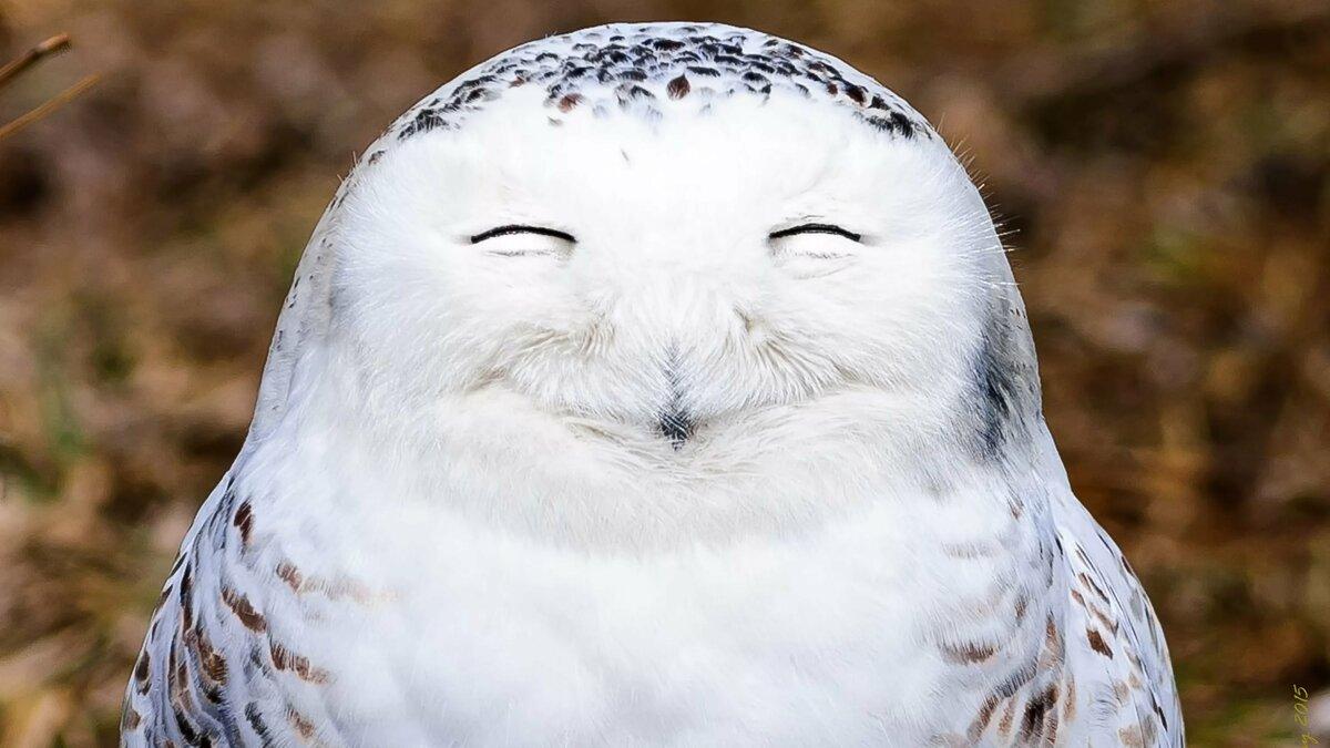 Гвоздя жезла, картинки совы смешные