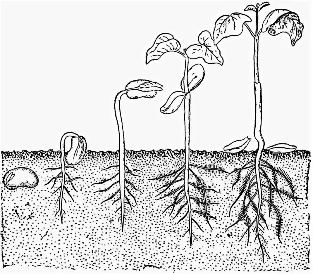 картинка как развивается растение из семени видео нехарактерного для