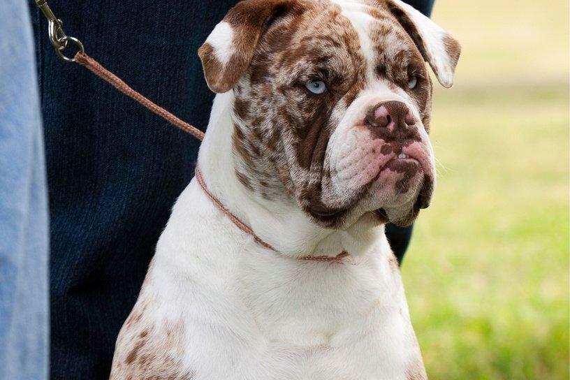 Бульдог алапахский фото собаки