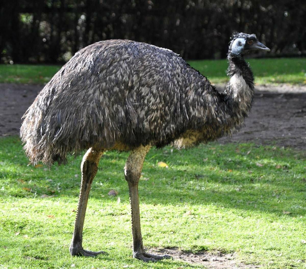 ограда картинки страуса эмо приготовить хрустящие