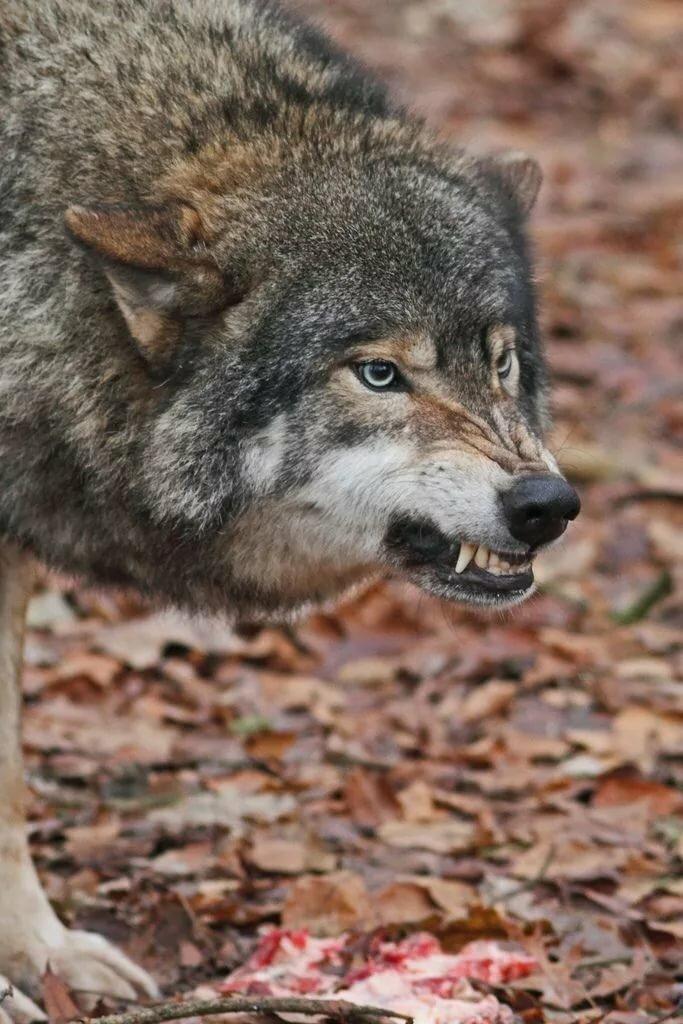 модель героя, фотографии злых волков мечтаете повесить