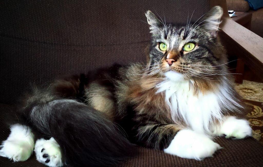 Норвежская лесная трехцветная кошка фото