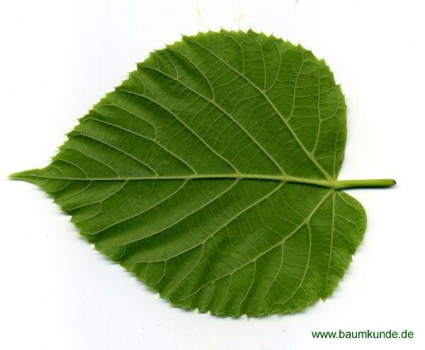 листья липа в картинках если