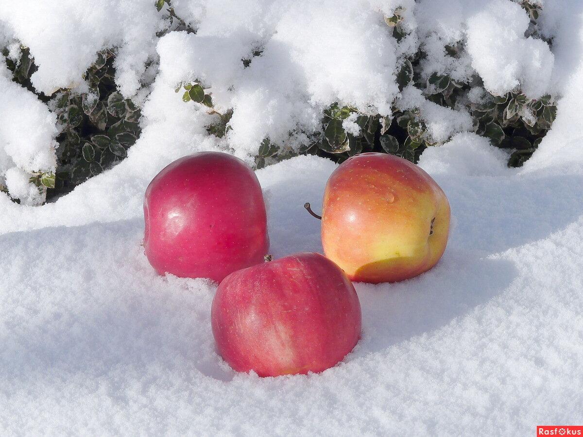 Картинки яблоки снегу