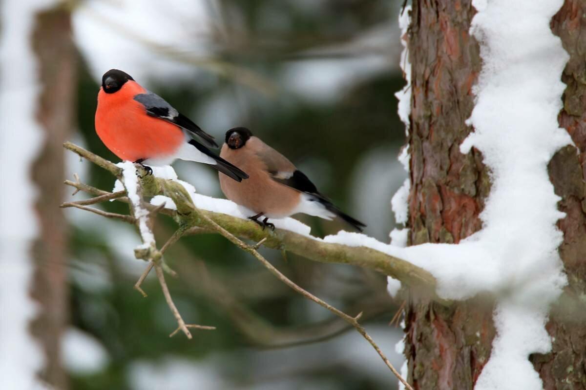 Картинки о птиц снегирях