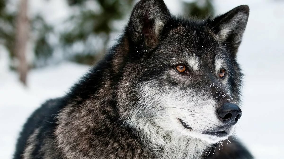 Открытки, картинка волки