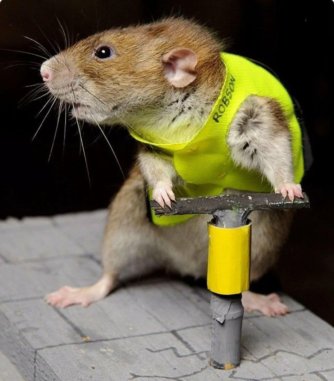 Картинка смешная крыса