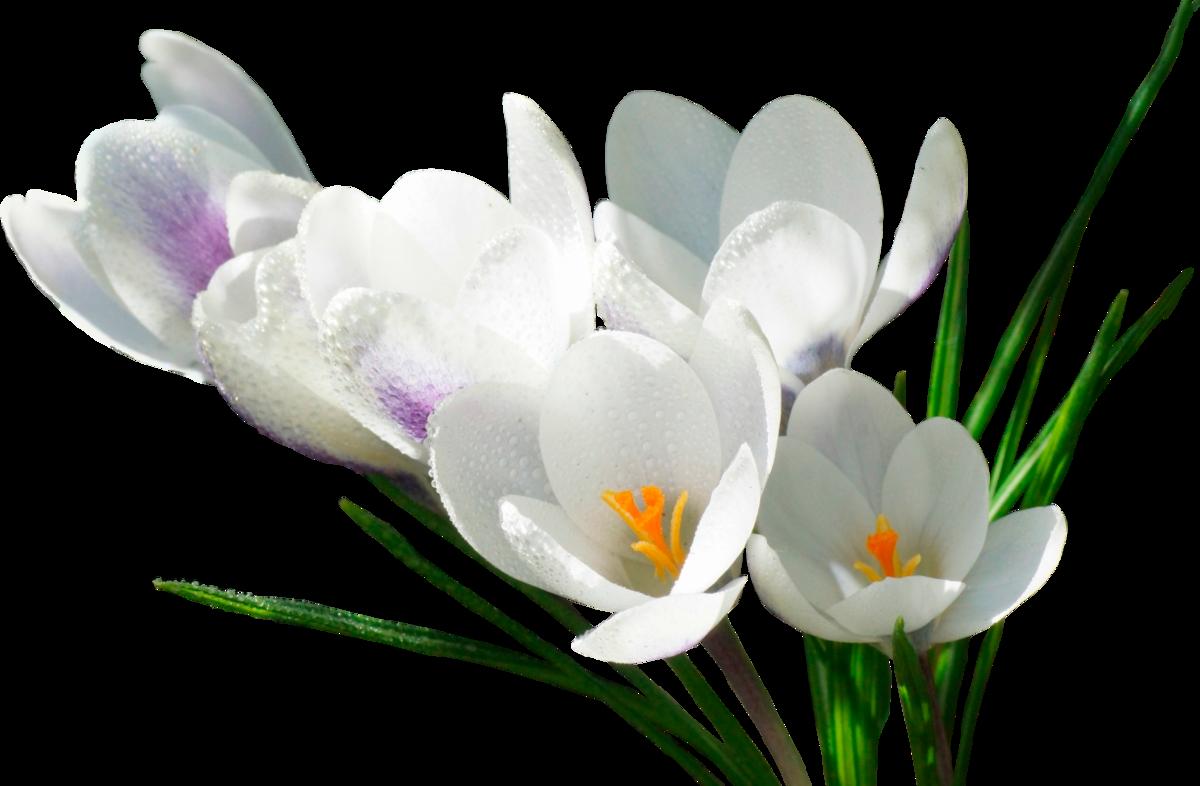 Картинки букет весенних цветов на прозрачном фоне