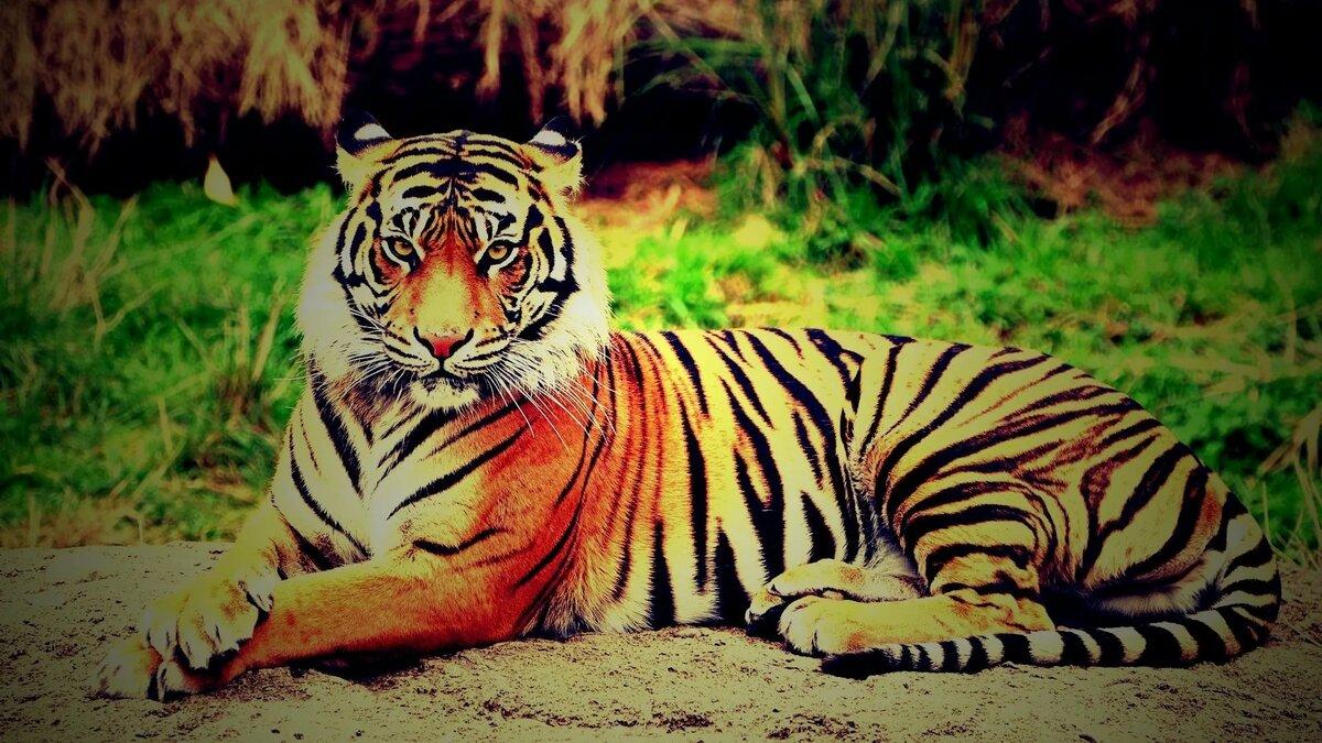 Обои на телефон тигрица