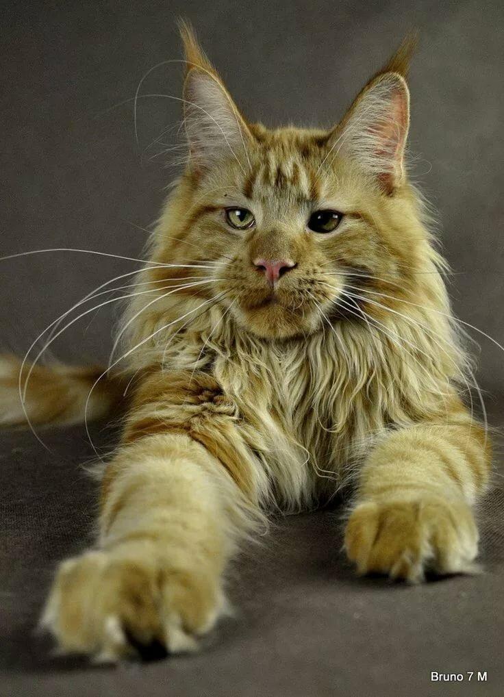 Мейнкун кот фото большой