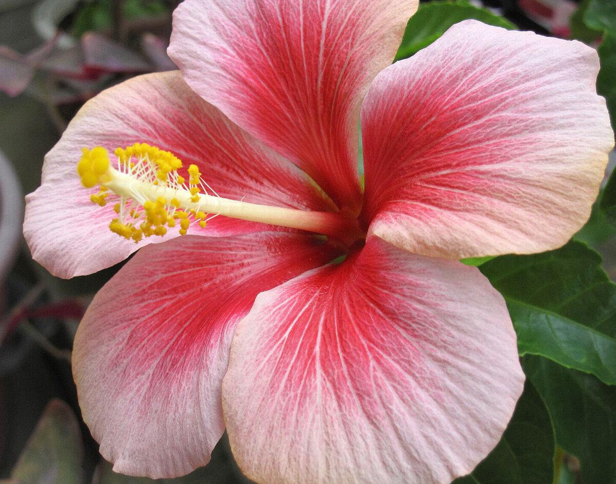 листа фото цветок игузмис этого