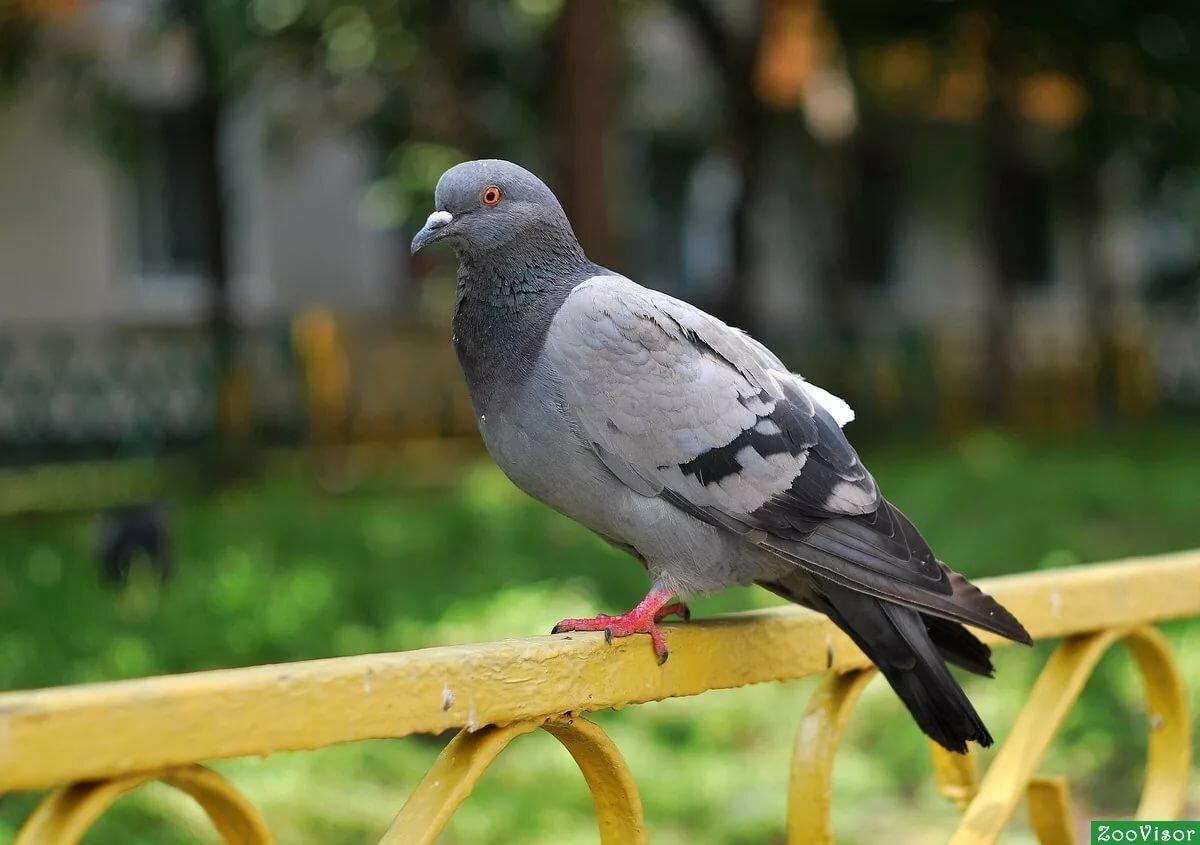 Голуби птицы картинки