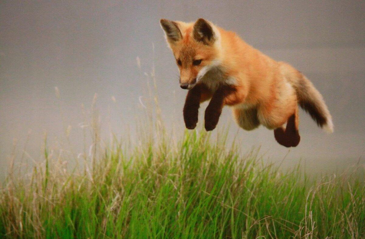 Картинки лисички приколы