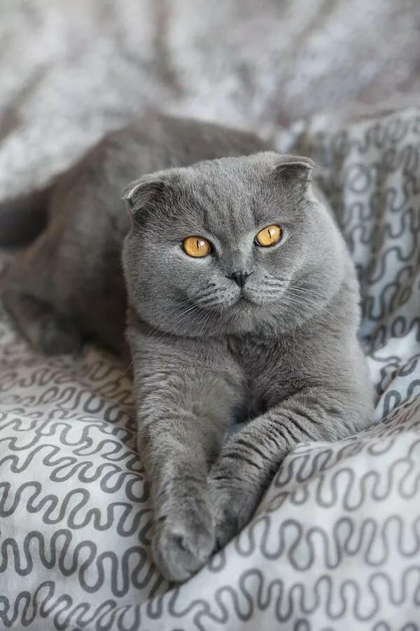 большое серые вислоухие котята картинки это