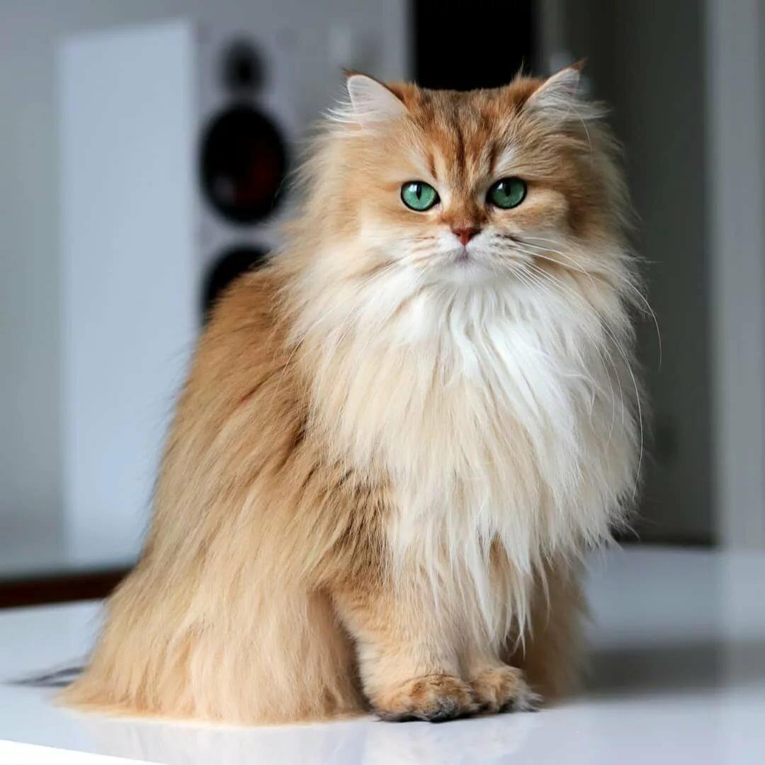 картинки самые пушистые кошки фотосъемка донецком